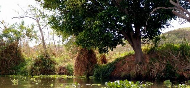 Baum am Rio Tietê