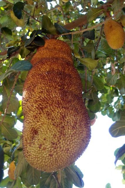 riesige Jackfruit